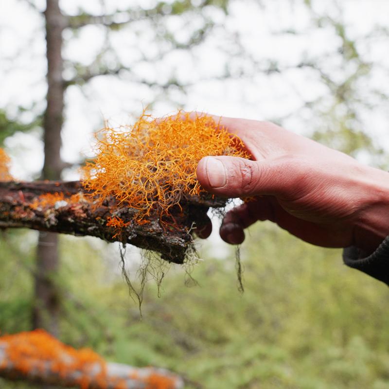 谢尼表哥木里藏区新鲜采摘自然晾干红雪苔藓50g/80g泡水饮用