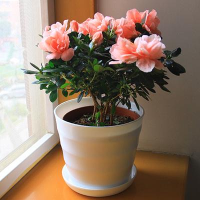 进口西洋杜鹃花苗小盆栽绿植带花苞四季开花优惠券