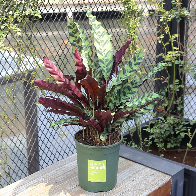 超好养的8种美丽盆栽,摆在家里,空气清新,邻居都来要链接